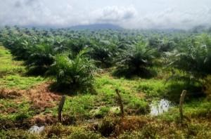 Palm-Plantation_680